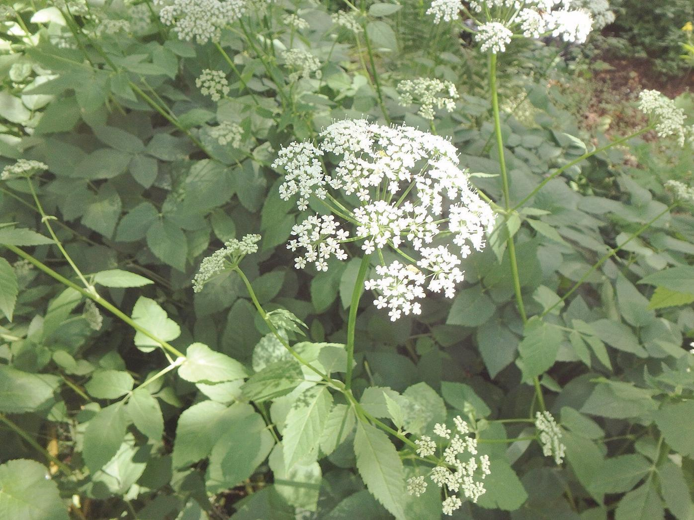 Henry Homeyer: Weeds to worry about, and what to do about them