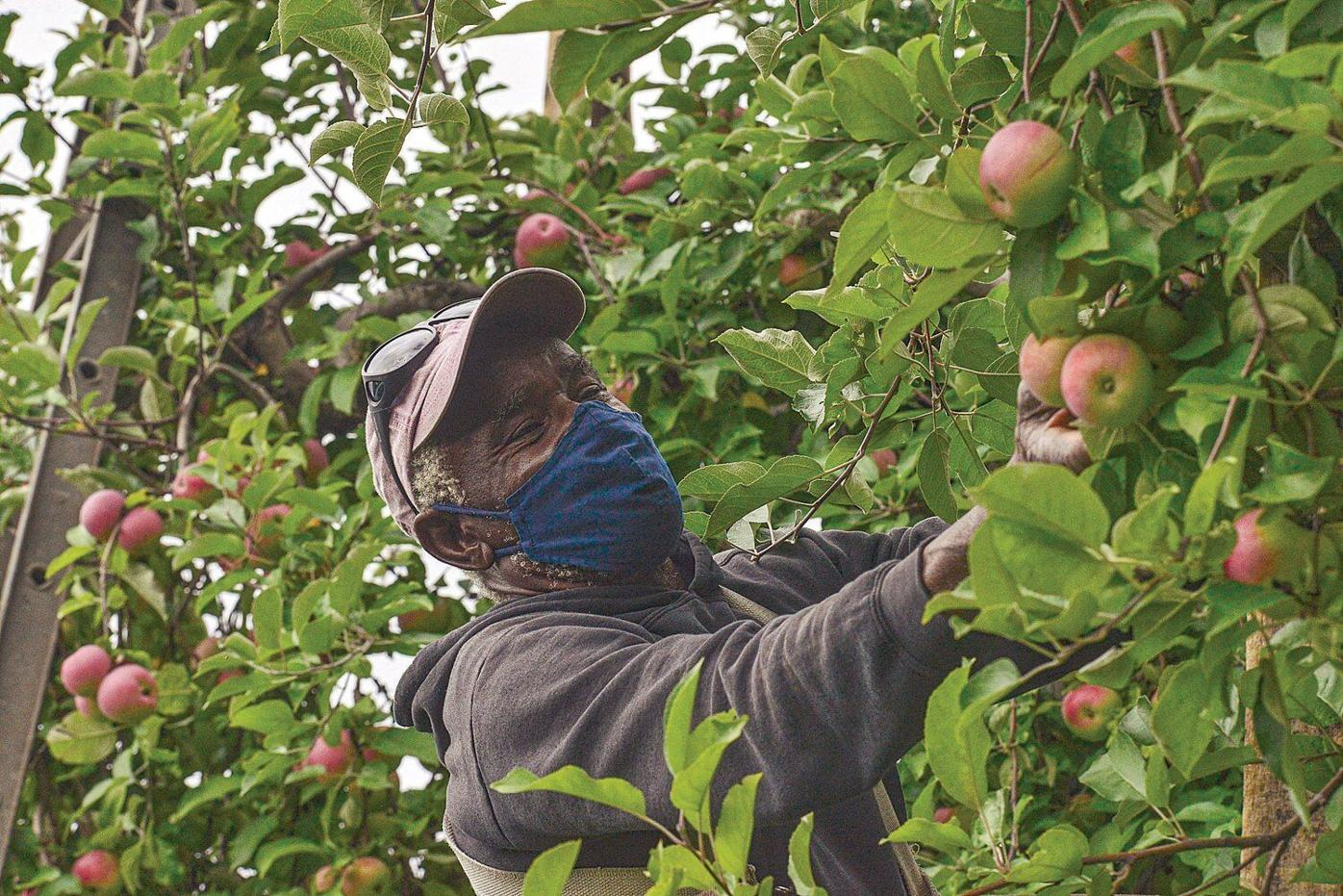 Photos: Apples by the bucket