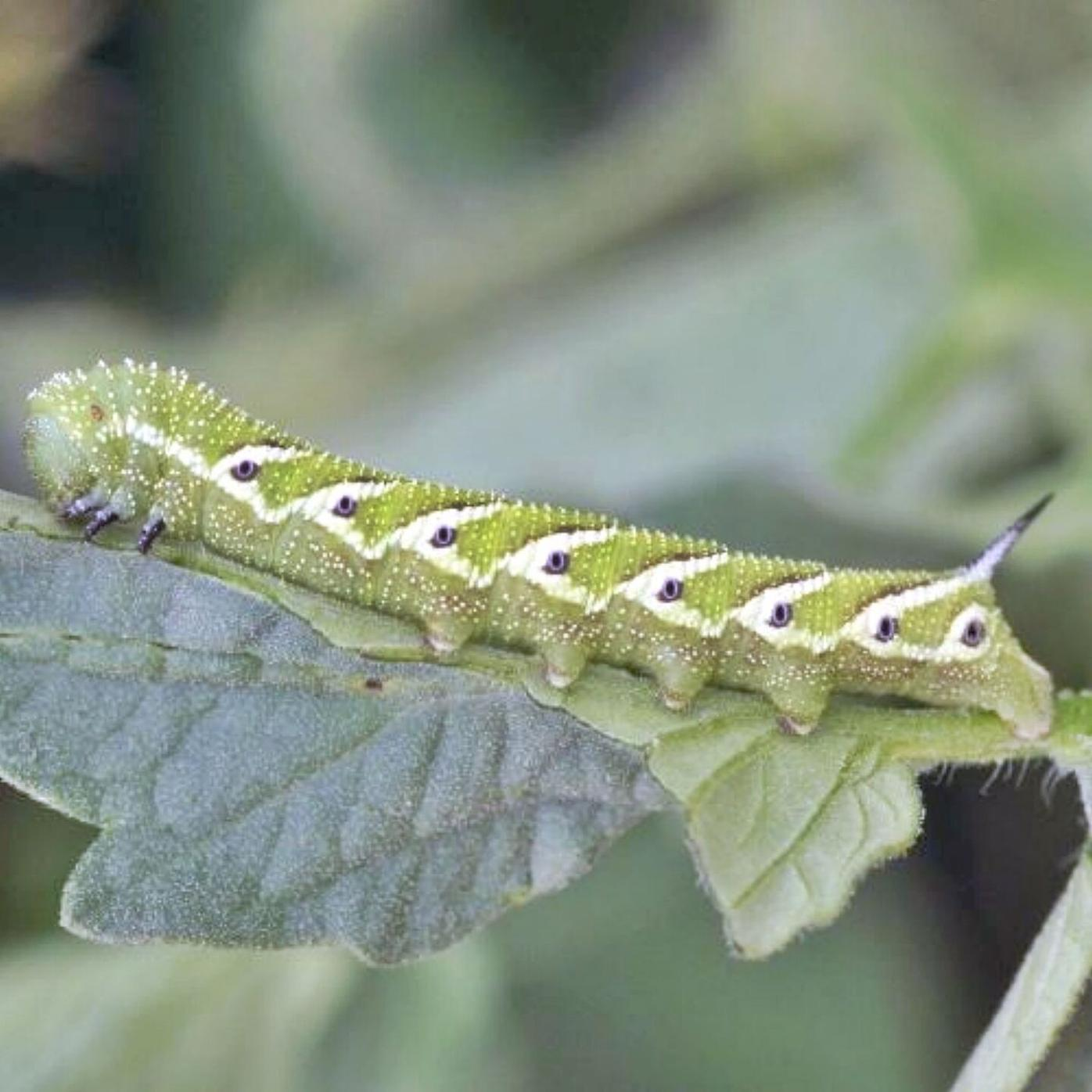 Ron Kujawski   Garden Journal: A crop of hornworms to be 'harvested'