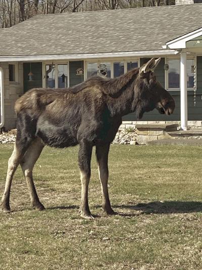 Moose-T5.jpg