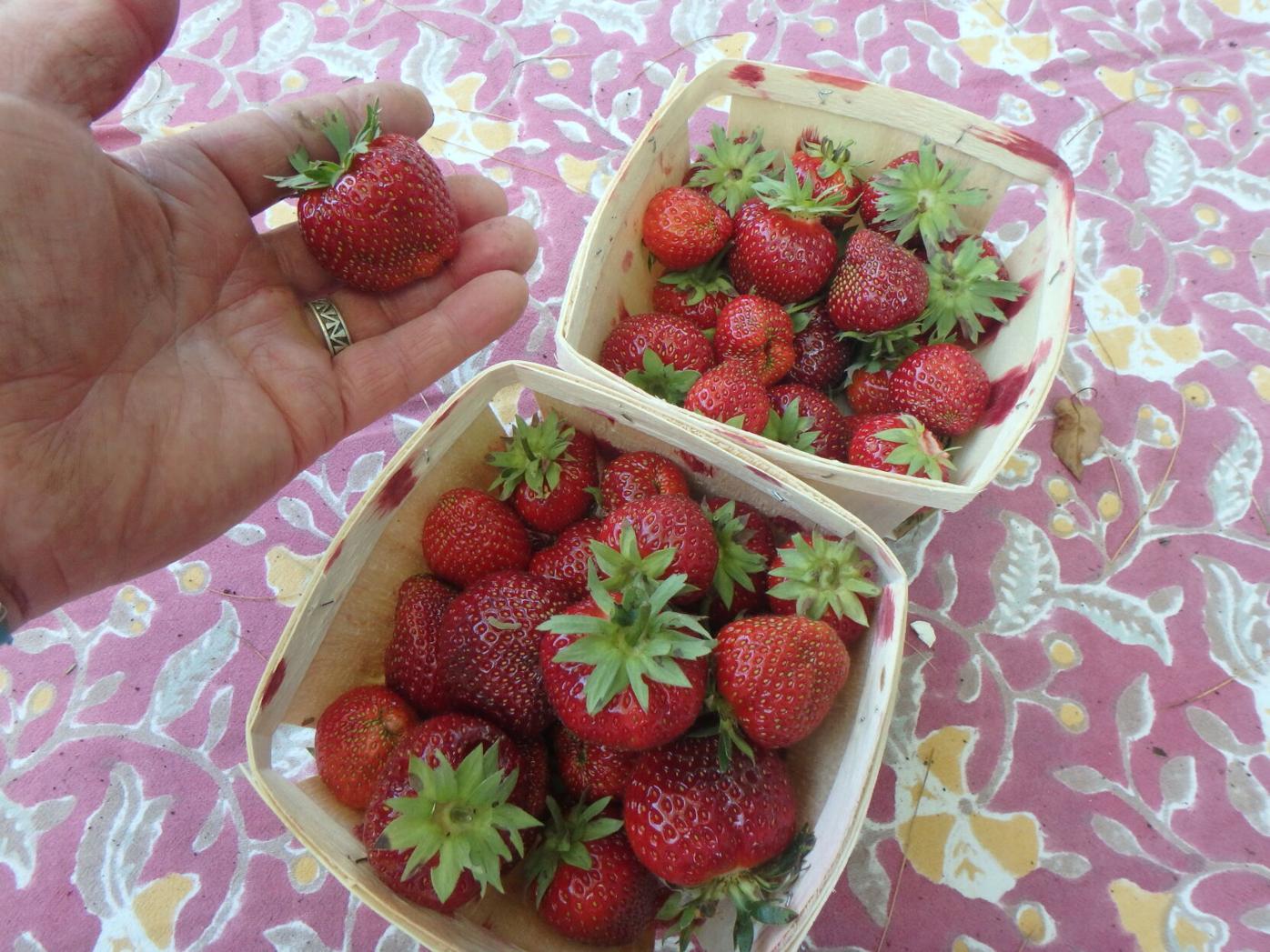 Day neutral strawberries first picking.JPG