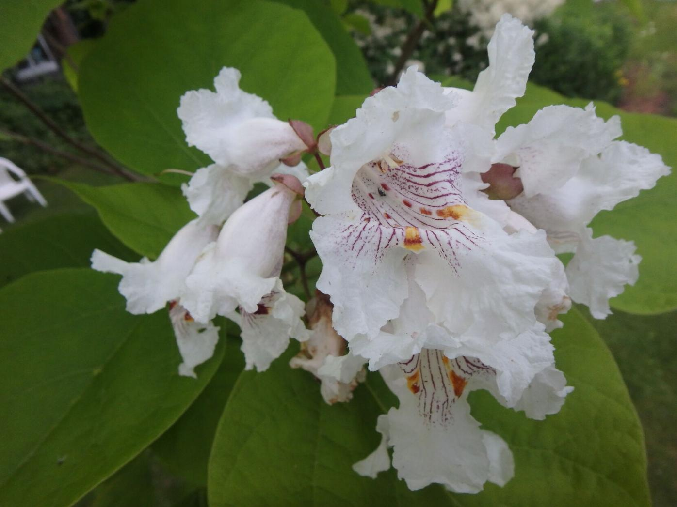 Catalpa blossoms are showy and insect pollinated,  but still can cause hay fever.JPG