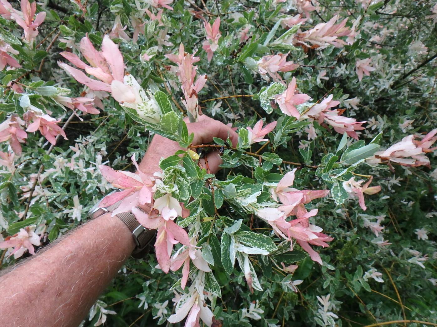 Hakuru nashiki willows do not produce pussy willows or allergic reactions .JPG