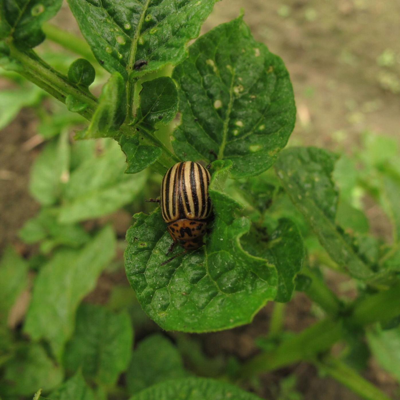 Hand pick Potato beetles and look for orange egg masses on underneath side of leaves.JPG