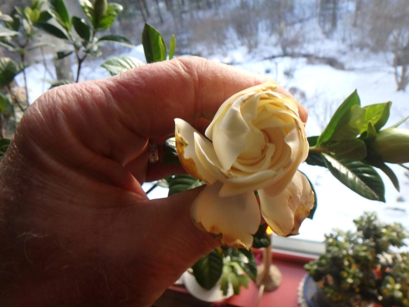 Gardenias are fussy and hard to get to bloom indoors.JPG
