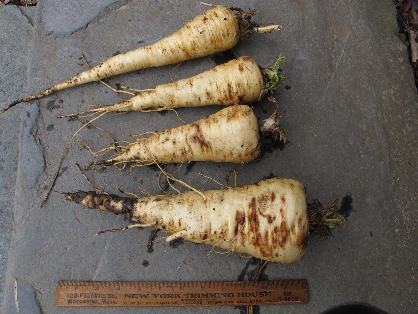 Parsnips will grow in soil suitable for carrots and are an early spring treat.JPG