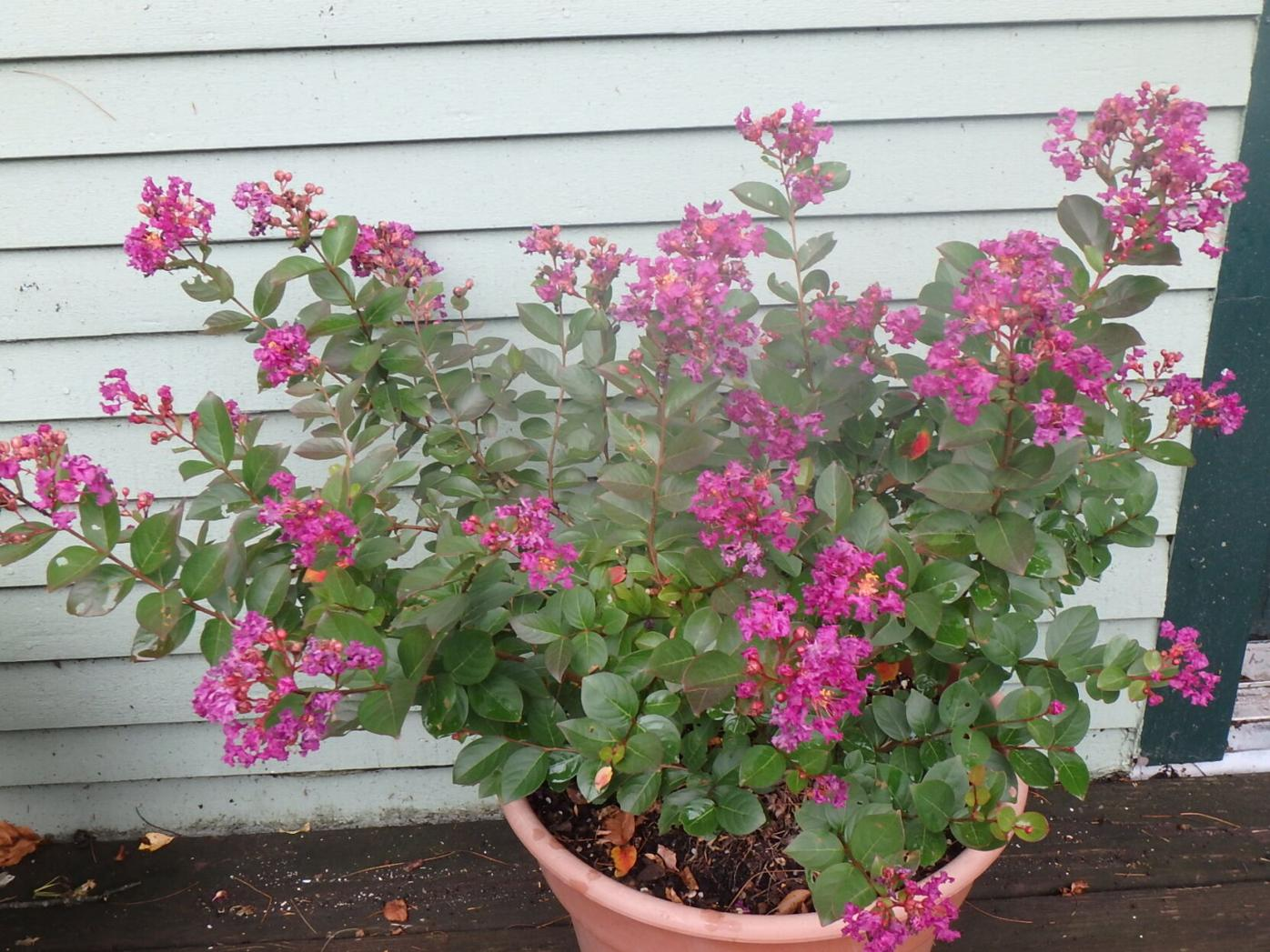 My Crape myrtle goes dormant in winter in a cold basement.JPG