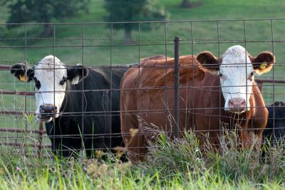stock_cattle_01