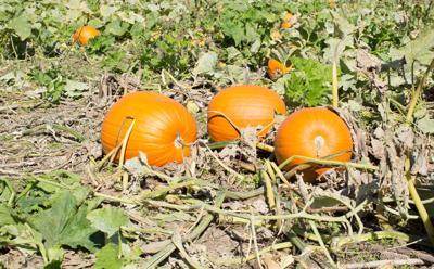 210922_mr_al_pumpkins_01