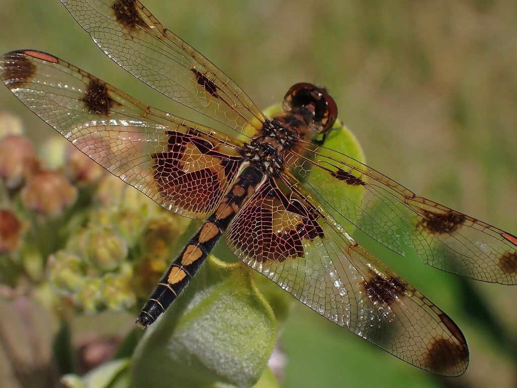 Natural Connections calico pennant dragonfly (1).jpg