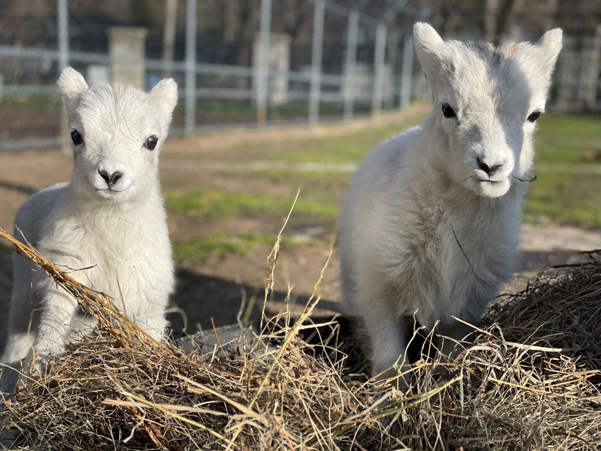 baby sheep, Como Zoo, things to do