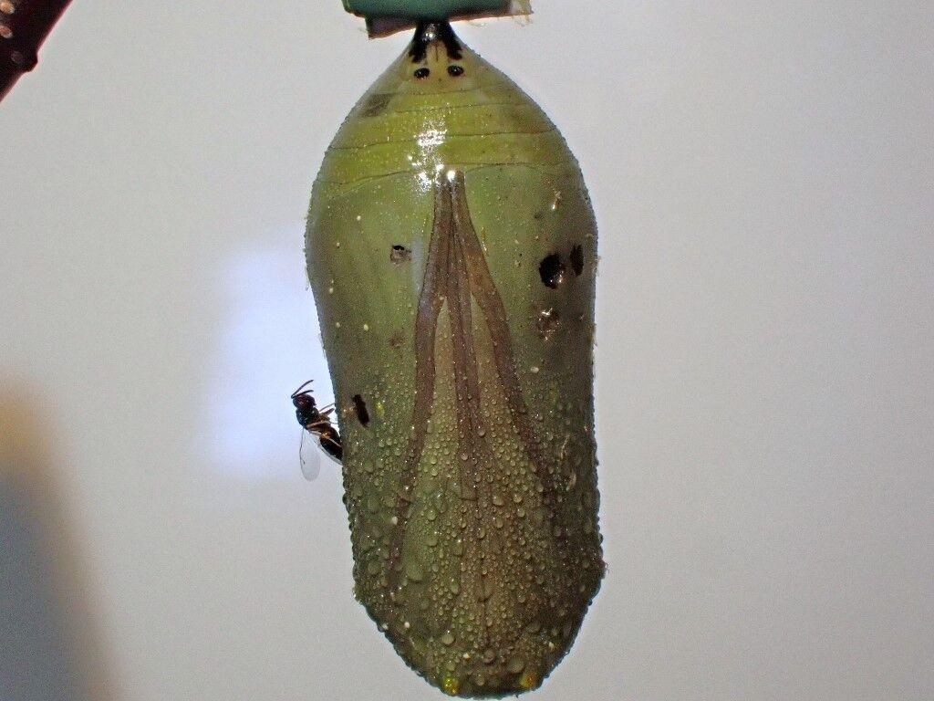 monarch chrysalid and wasp.jpg