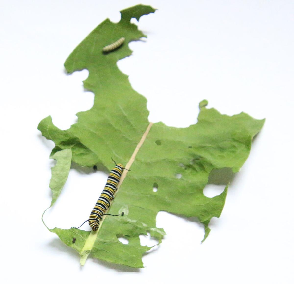 Caterpillars eating milkweed