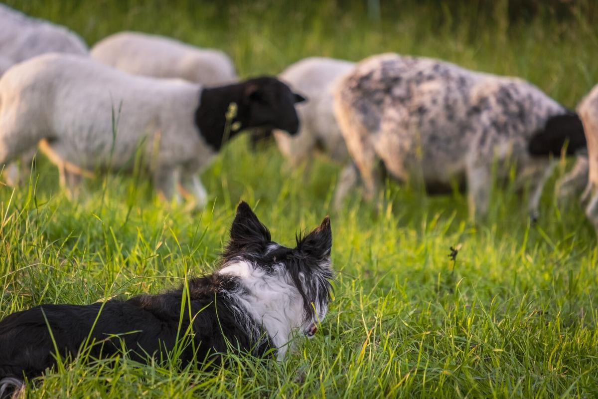 Sheep herding dog