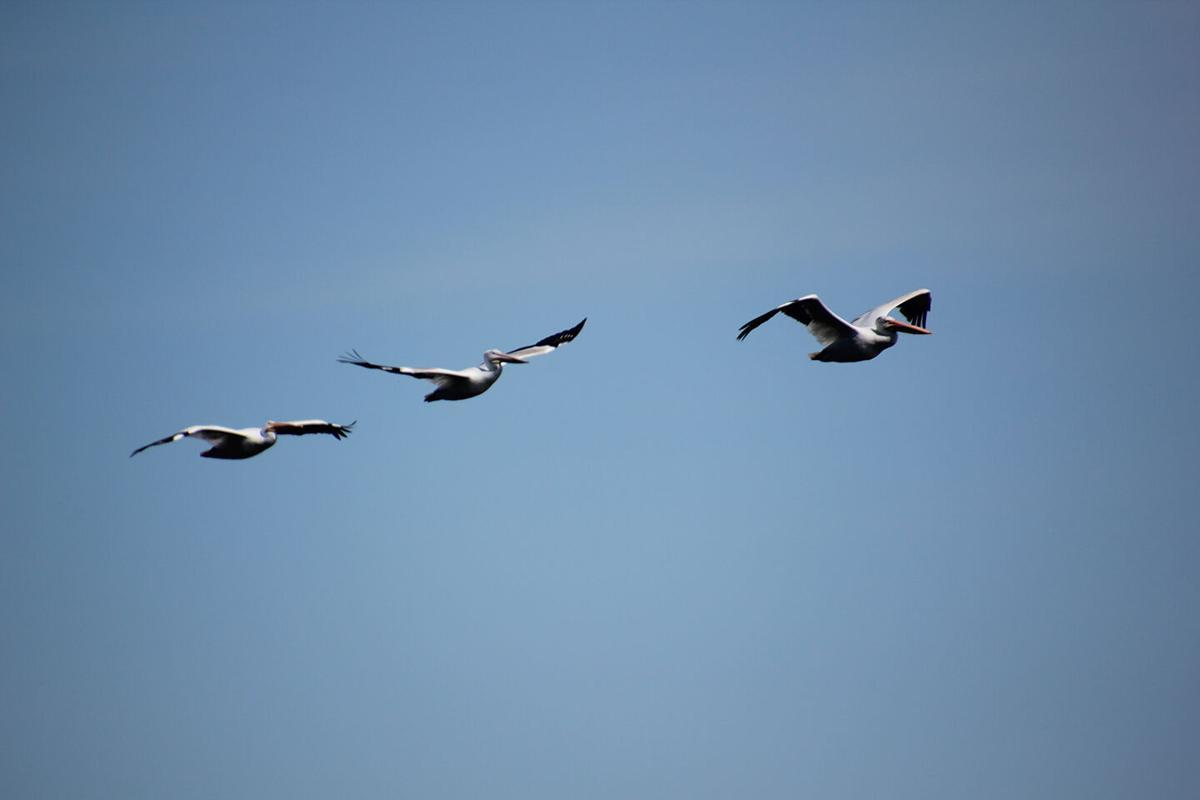 Pelicans in flight.jpg