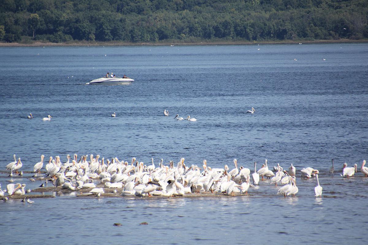 Pelicans flocking.jpg