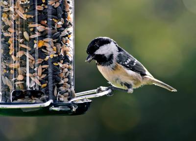 Chickadee at bird feeder RTSA