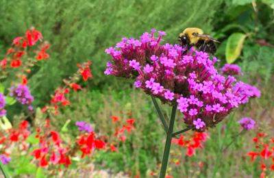 Minnesota bee