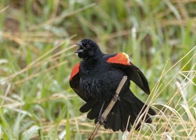 Red-winged black bird RTSA.jpg