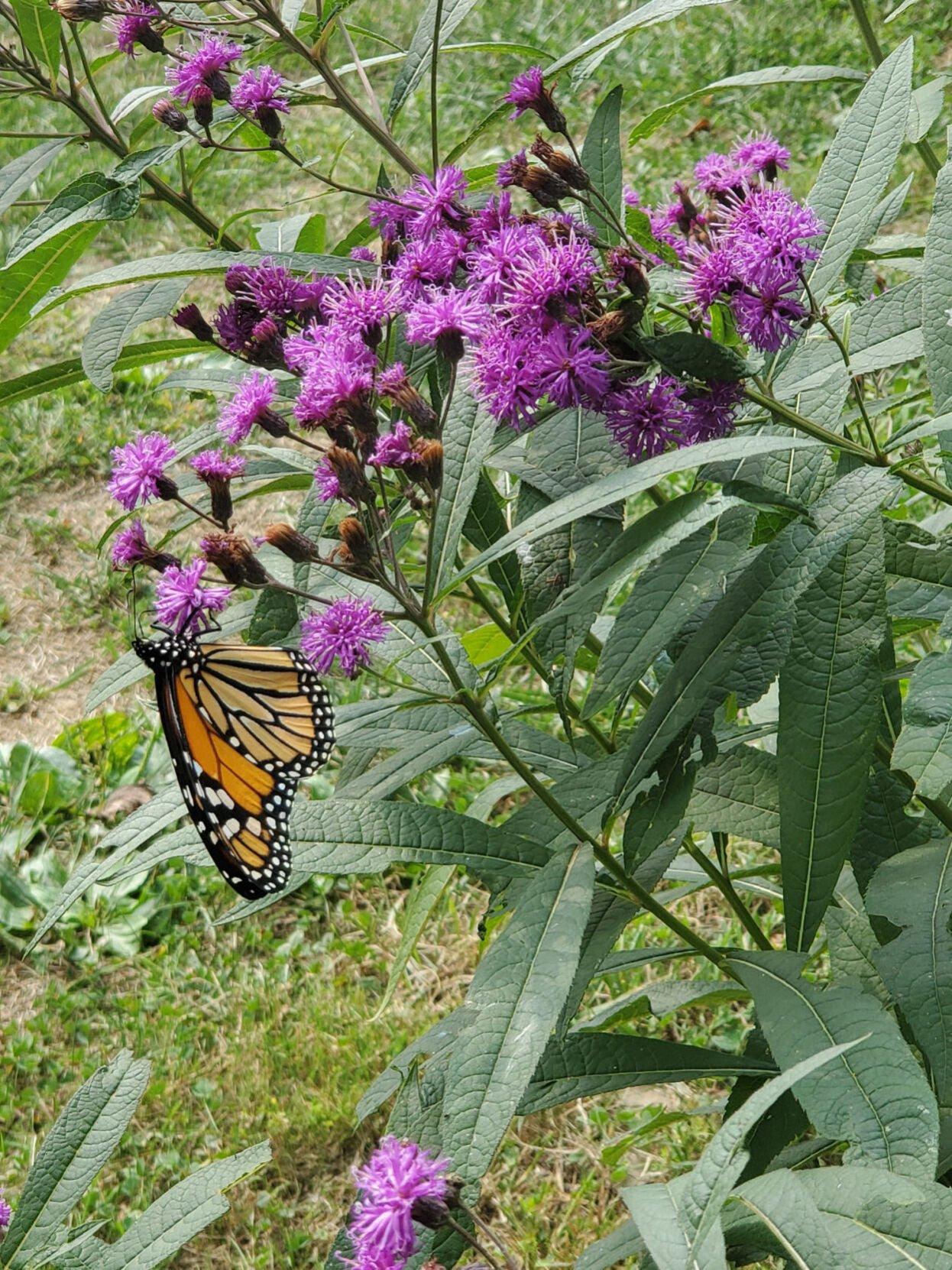 Monarch_New_York_Ironweed