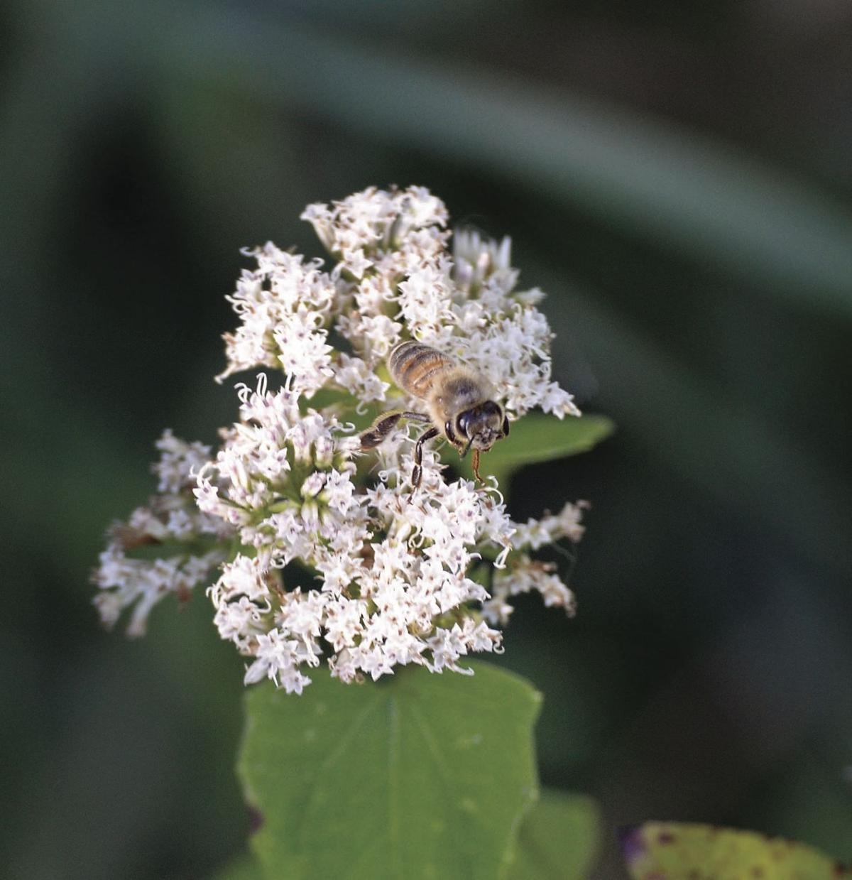 Honeybee hunting–a guide to following a beeline