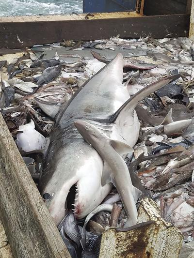 Great white caught in RI | News | ricentral com