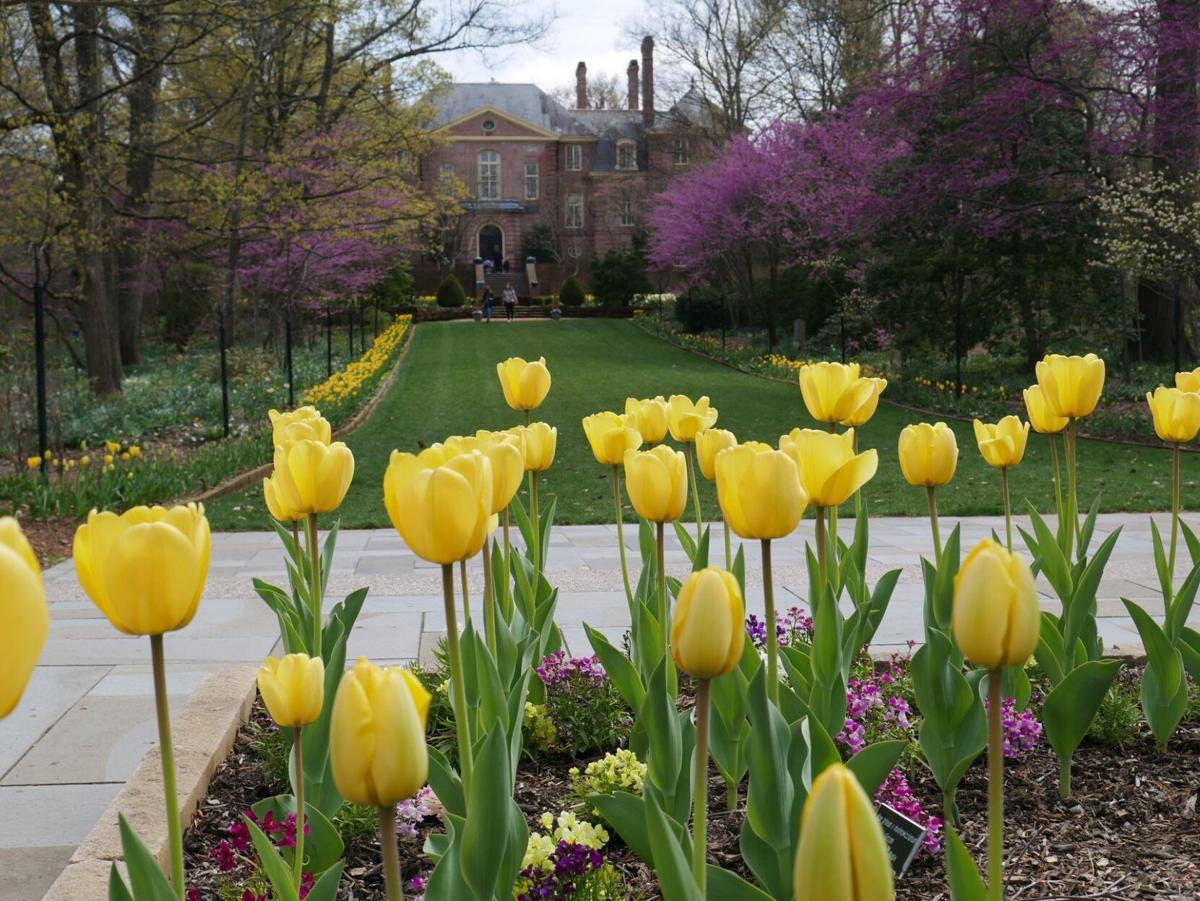 tulips at Kingwood
