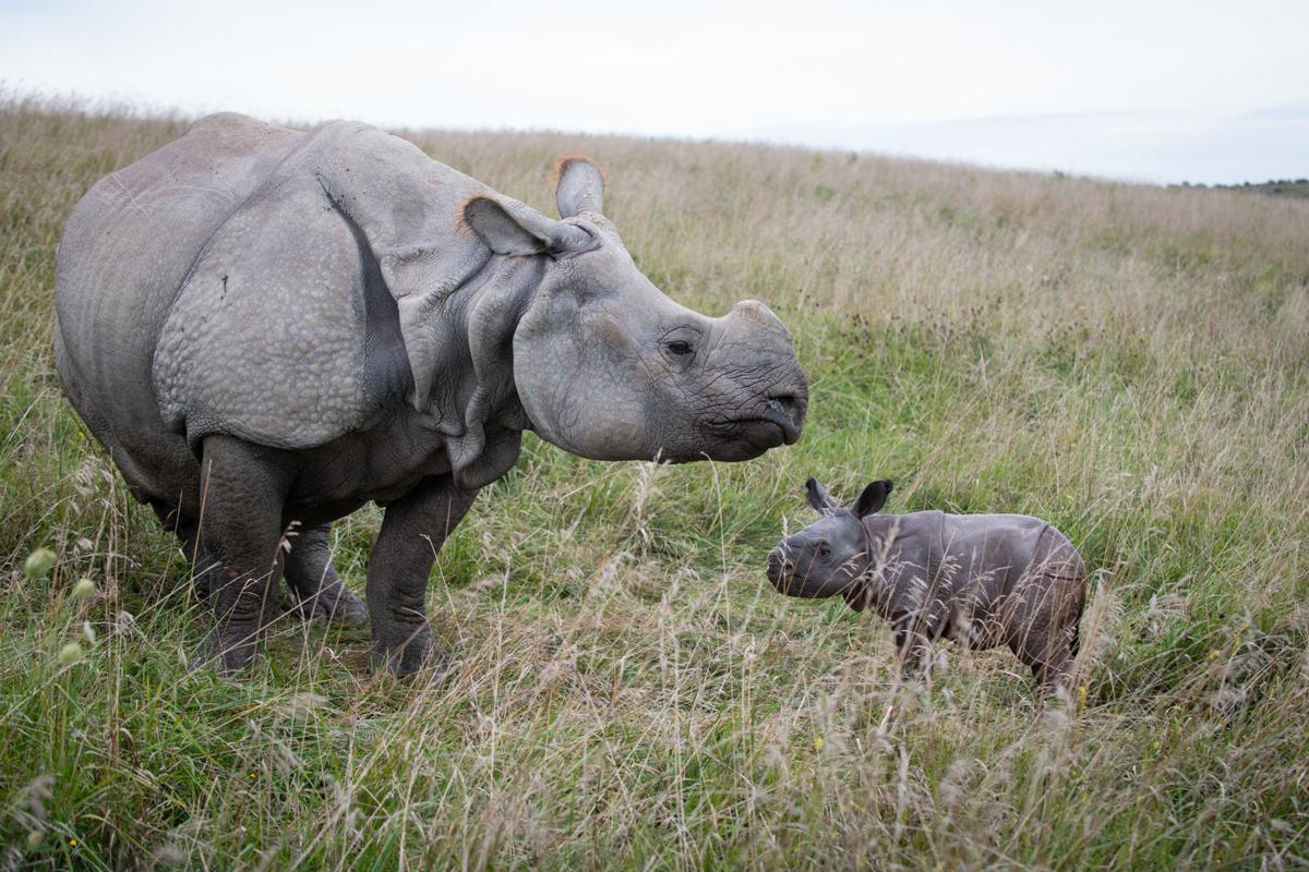 Greater One-Horned Rhino Calf 2