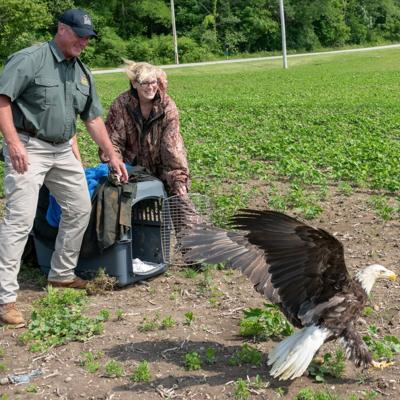 Remarkable bald eagle released back into the north central Ohio wild