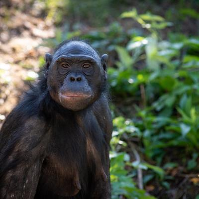 Columbus Zoo mourns loss of world-famous bonobo Unga