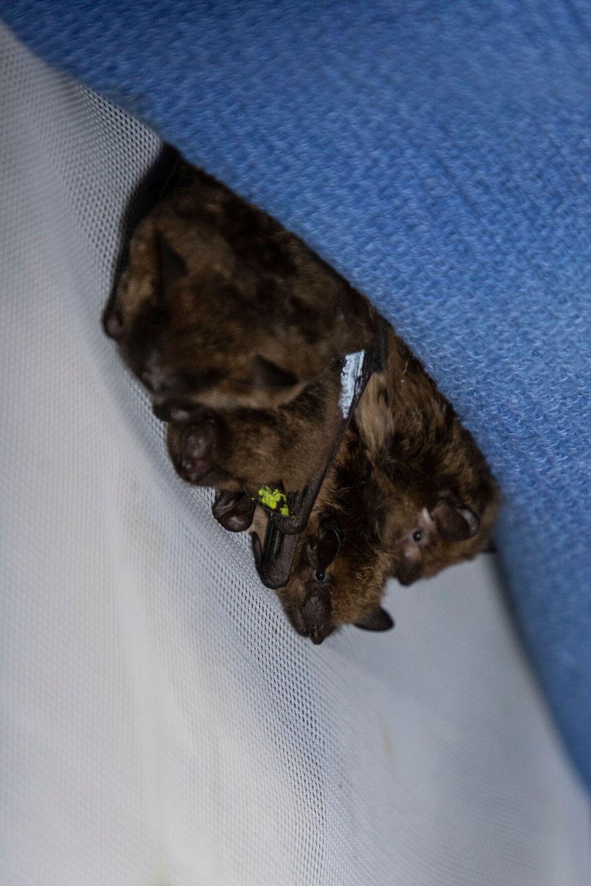 Brown bat in a pouch