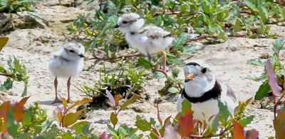 Four endangered Piping Plover chicks hatched in Ohio for 1st time in 80 years