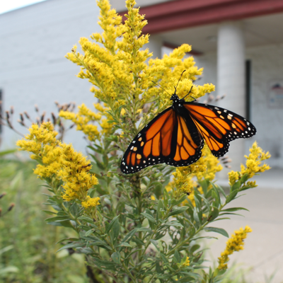 Richland Soil & Water Conservation District collecting milkweed seed pods