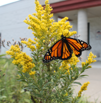 Monarch Butterfly at Longview Center