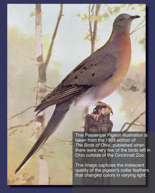 Illustration of passenger pigeon