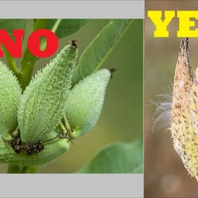 Mansfield-area residents asked to help collect milkweed seed pods to foster Monarch butterfly habitats