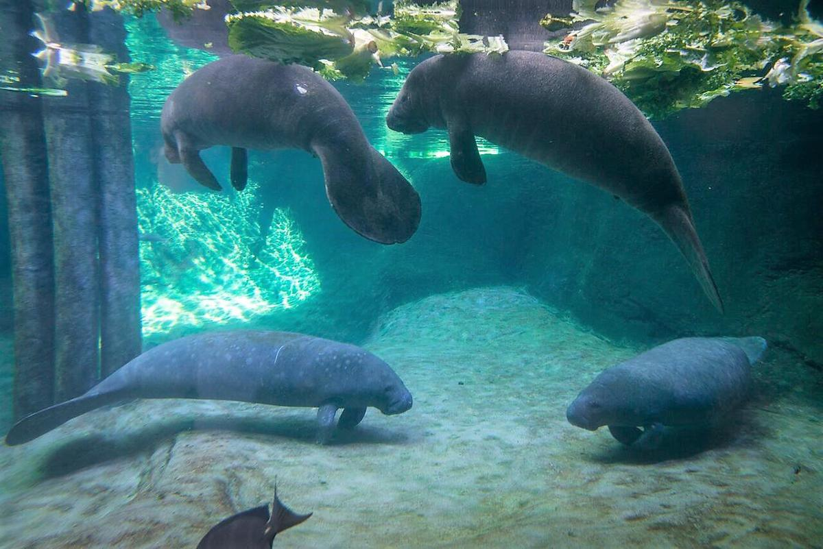 Manatees 8831 - Grahm S. Jones, Columbus Zoo and Aquarium_preview.jpeg