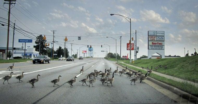 Goose-walking