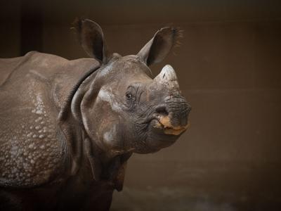 Meet Brian, a 4-year-old, 3,500-pound rhino at the Columbus Zoo