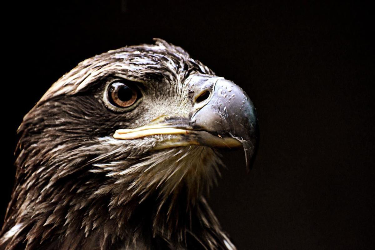 Eagle two