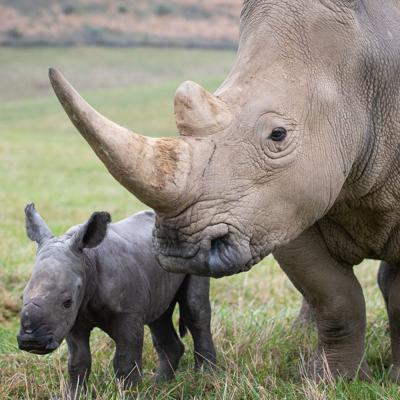 White Rhino calf born at The Wilds
