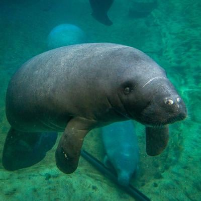 Columbus Zoo returns 2 manatees to Florida