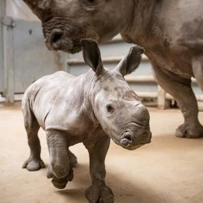The Wilds welcomes another white rhino calf