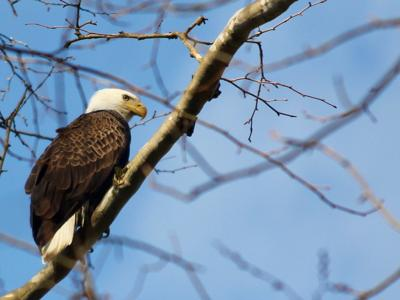 Bald Eagle numbers take flight in Ohio