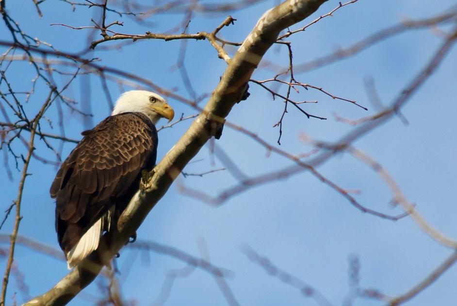 Bald Eagle Numbers Take Flight In Ohio Local Sports News Richlandsource Com