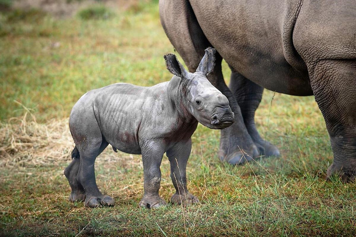 E Rhino Productions Rare baby white rhino ...