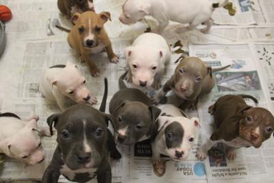 Puppies Pitt mix humane society