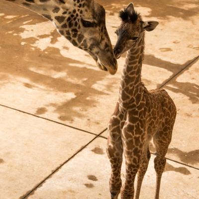 The Wilds welcomes an endangered Masai giraffe calf