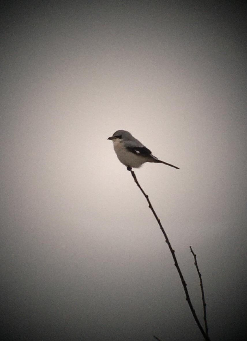 northern shrike.jpg