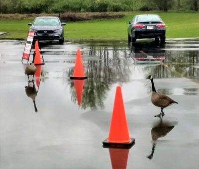Geese voting